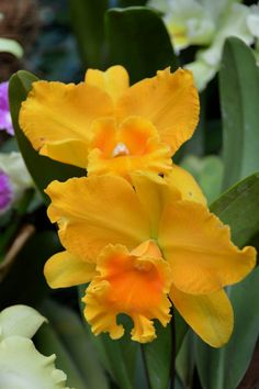 Cattleya Orchids by Seventh Heaven Photography