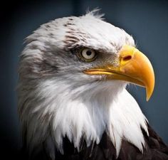 Out of danger: The U.S. Government will allow Native Americans a special dispensation to use bald eagle feathers for tribal religious ceremonies