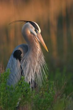 A~~~Great blue heron (Ardea herodias) is a large wading bird in the heron family Ardeidae, common near the shores of open water and in wetlands over most of Tropical Birds, Colorful Birds, Heron Tattoo, Canadian Wildlife, Grey Heron, Bird Artwork, Shorebirds, Big Bird, Bird Pictures