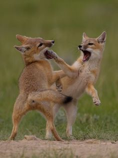 The paws are out in this cat . Don't fret though, these swift fox kits are only playing :-) (photo:Richard Goluch) I want to kiss their little faces! Fantastic Fox, Fabulous Fox, Animals And Pets, Baby Animals, Cute Animals, Swift Fox, Fennec, Wolf, Carnivore