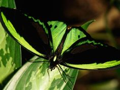 Beautiful green and black butterfly.