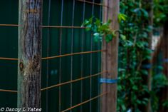 L1M2AP3 - Canon 400d - 50 mm lens - ISO 200 - F3.2 - 1/400 sec - early afternoon - cloudy day - hand held - back yard, new additional fencing for espaliering fruit trees - twicked in Lightroom - 27/02/15