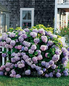 Snowball bush- which is viburnum, but these look like hydrangeas.  I love it either way!