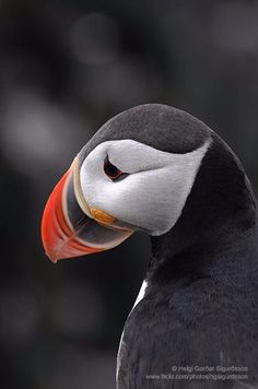Atlantic Puffin, Látrabjarg Cliffs, Iceland