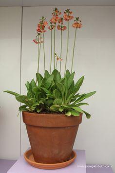 Primula × anisodoxa 'Kevock Surprise' Chelsea Flower Show, Salvia, Types Of Plants, Orange Flowers, Color Change, Garden Design, Planter Pots, Pumpkin, Wildlife