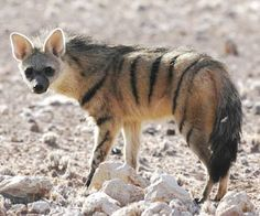 "Aardwolf. The aardwolf is a small, insectivorous mammal, native to East Africa and Southern Africa. Its name means ""earth wolf"" in the Afrikaans / Dutch language. It is also called ""maanhaar jackal"". The aardwolf is in the same family as the hyenas."