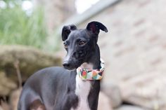 The adorable Ivy is wearing our Autumn Collection geometric print, photo be @roothewhippet on Instagram!