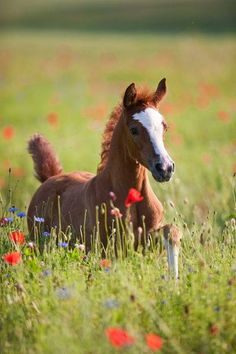 Arabian horse, by Christiane Slawik Baby Horses, Cute Horses, Horse Love, Horse Photos, Horse Pictures, Animal Pictures, All The Pretty Horses, Beautiful Horses, Animals Beautiful