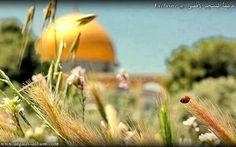 #القدس #انتفاضه_ثالثه Jerusalem, Dandelion, Vineyard, Pumpkin, Flowers, Plants, Outdoor, Israel, Heart
