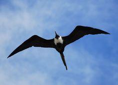 frigate bird caribbean - Google Search