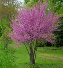 Oklahoma Redbud, possibility for front yard. (mature height: 20-30ft; mature width: 15-20ft; full-partial sun) asf619