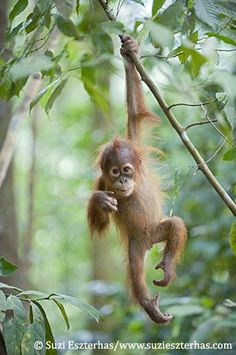 orangatans building nest in trees   About Orangutans – Sumatran Orangutan Society