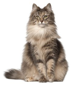 Norwegian Forest Cat Breeders