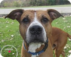Sidney, OH - Boxer Mix. Meet Happy, a dog for adoption. http://www.adoptapet.com/pet/17125399-sidney-ohio-boxer-mix