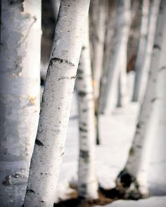 """""""...white birches shining among the dark spruces like beautiful women's bodies--winter snows and rose-red sunset fires--lakes drunken with moonshine--all the delights of her lost paradise. """""""