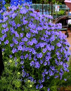 Specializing in rare and unusual annual and perennial plants, including cottage garden heirlooms and hard to find California native wildflowers. Dry Garden, Blue Garden, Azul Royal, Alpine Garden, Sun Plants, House Yard, Sun And Water, Types Of Plants, Plant Care