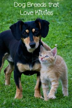 While all dogs can be taught to love kitties, check out the top dog breeds that get along with cats if you're planning to adopt a new dog in a home with an older cat.