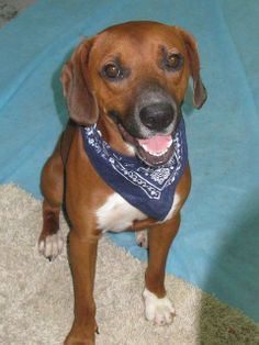 Fate Mountain Cur  Hound Mix • Young • Male • Medium Cookeville/Putnam County Animal Shelter Cookeville, TN      He is gorgeous!