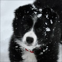 Border Collie 13 weeks old Reminds me of our Lucy at that age!
