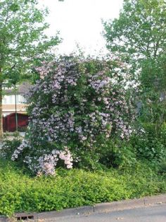 Kolkwitzia amabilis - Koninginnenstruik | De Tuinen van Appeltern Dream Garden, Plants, Gardens, Shrub, Plant, Planets