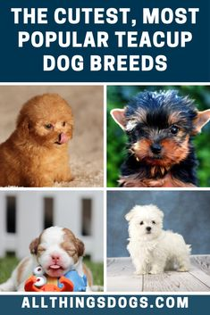 Why are teacup dog breeds so wildly popular? It might be because they are all the fun of a big dog in a much more manageable package. Learn more about the most popular teacup dogs in our guide here. Calm Dog Breeds, Dog Breeds Little, Large Dog Breeds, Popular Dog Breeds, Best Dog Breeds, Beautiful Dog Breeds, Beautiful Dogs, Teacup Dog Breeds, Teacup Dogs
