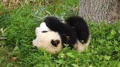 Ein Panda, der sich den Hang runterkullert