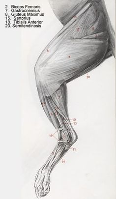 Muscles of the Cat Leg More