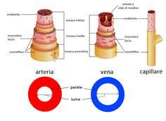 Differenza tra arterie, vene, capillari, arteriole evenule