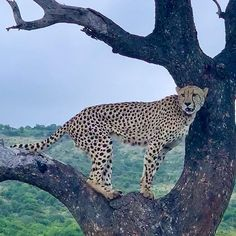 Cheetah scouting for dinner Scouting, Cheetah, Panther, Dinner, Animals, Photos, Dining, Animaux, Panthers