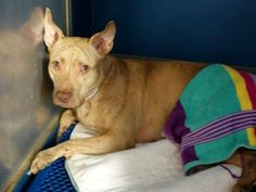 TO BE DESTROYED 10/12/14 SUPER URGENT 10/9/14 Manhattan Center MAIZE - A1016794 FEMALE, TAN / BR BRINDLE, PIT BULL MIX, 3 yrs STRAY - STRAY WAIT, NO HOLD Reason STRAY Intake condition UNSPECIFIE Intake Date 10/08/2014, From NY 10457, DueOut Date 10/11/2014, https://www.facebook.com/Urgentdeathrowdogs/photos/a.611290788883804.1073741851.152876678058553/883800981632782/?type=3&theater