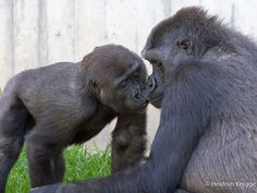 Unsere Gorillagruppe | Zoo Heidelberg