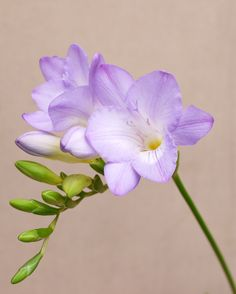 Freesia by Craig Beveridge, via 500px