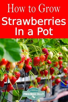 How To Successfully Grow Strawberries In A Pot. Holders Are A Great Way To Grow Strawberries, No Matter Where You Live How To Successfully Grow Strawberries In A Pot. Holders Are A Great Way To Grow Strawberries, No Matter Where You Live When To Plant Strawberries, Growing Strawberries In Containers, Strawberry Planters, Strawberry Garden, Fruit Plants, Blueberries, Potted Plants, Indoor Plants, Gardens