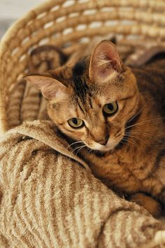 .cat in a basket
