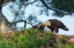 Bald Eagle feeding young in nest Photo by Everet Regal — National Geographic Your Shot