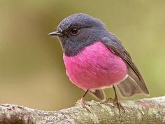 Pájaro rosado