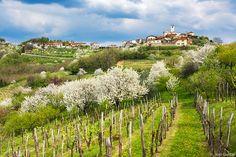 Brda cvetoče češnje