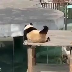 the happiest panda 🐼 😂😂 - Cute - Tierbilder Funny Animal Memes, Funny Animal Videos, Cute Funny Animals, Funny Animal Pictures, Cute Baby Animals, Funny Cute, Animals And Pets, Baby Pandas, Baby Giraffes