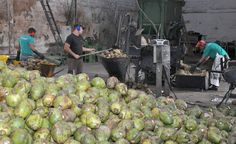 Casca do coco verde pode ser aproveitada para a produção de fibras vegetais
