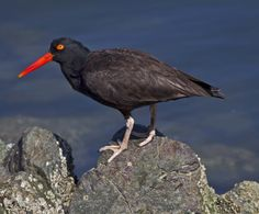 Haematopus moquini - African Black Oystercatcher -- Sighted: 5/25/2015 Robben Island, ZA; Sea Point, Capetown, ZA