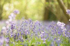 Kids Bluebells Photography Surrey, Blue Flowers, Woodland, Plants, Kids, Photography, Young Children, Boys, Photograph