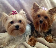 Yorkie | Best Little Dogs | Cute | Love | Spunky | Loyal | Yorkshire Terrier