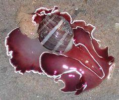 The Sea Slug Forum - Hydatina zonata