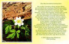 """Ein wahrer Lichtblick im Frühling: """"Das Buschwindröschenleuchten"""""""