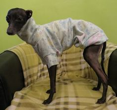 p Italian Greyhound, Greyhounds, Colourful Outfits, Brave, Cold, Animals, Animales, Animaux, Animal