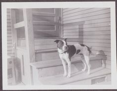 PHOTOGRAPH LOS ANGELES CALIFORNIA 1940's BOSTON TERRIER DOG OLD PHOTO