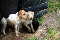 Dirty Dog Jack Russell Terrier Photo