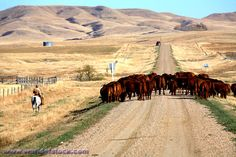 Cattle Drive In Scenic Saskatchewan