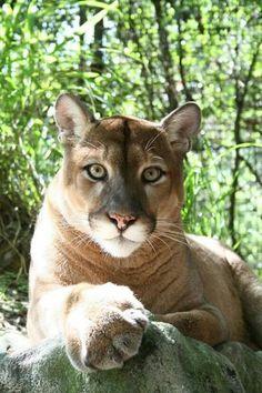 Hermoso leopardo.