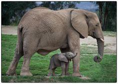 4 days old baby elephant